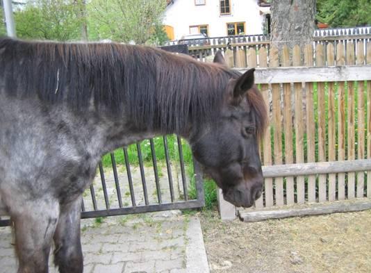 Pferd mit Cushing