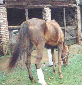 dünne Pferde