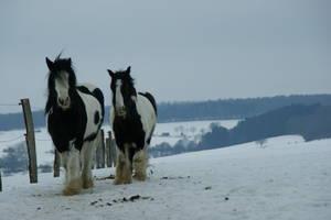 Bronchitis bei Pferden