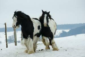 Husten bei Pferden