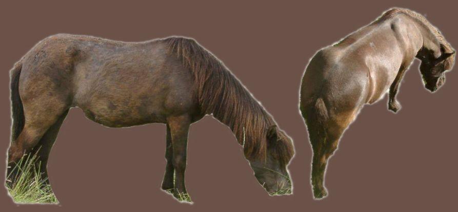 Störungen des Fellwechsels bei Pferden