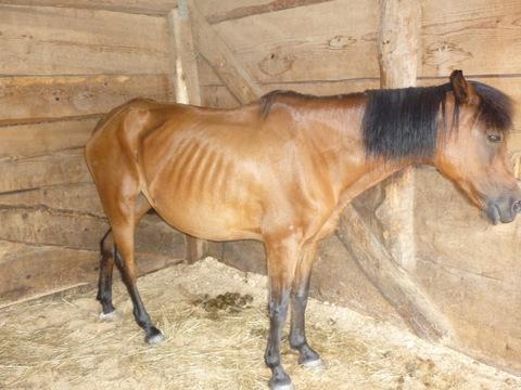 mageres Pferd