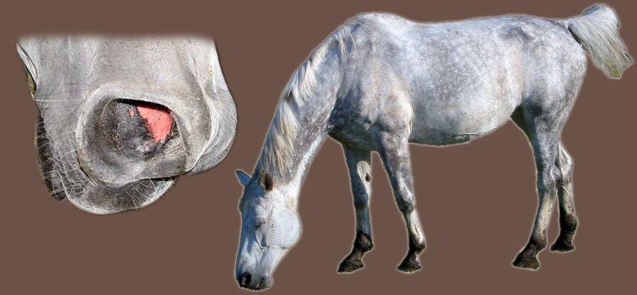 Pferdehusten, chronische obstruktive allergische Bronchitis bei Pferden, Husten bei Pferden, Heustauballergie, Asthma bei Pferden, Dämpfigkeit bei Pferden