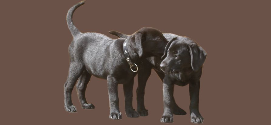 Schilddrüsenunterfunktion bei Hunden