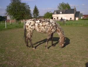 Allergie-Headshaking-Photosensibilität Pferd