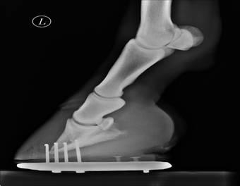 Röntgenbild Hufrehe