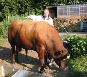 Fütterung bei Bullen