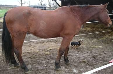 zu dünnes Pferd