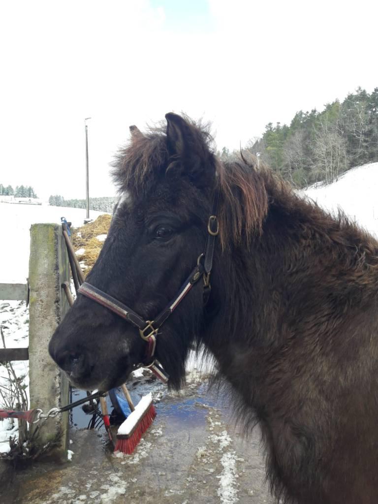 chronisch allergische Bronchitis bei Pferden