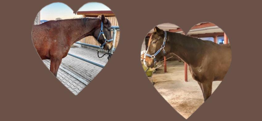 Kolik bei Pferden